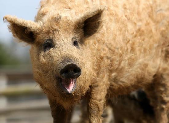 Hairy Hungarian Hog Mangalitsa Pork Stansted Park Farm